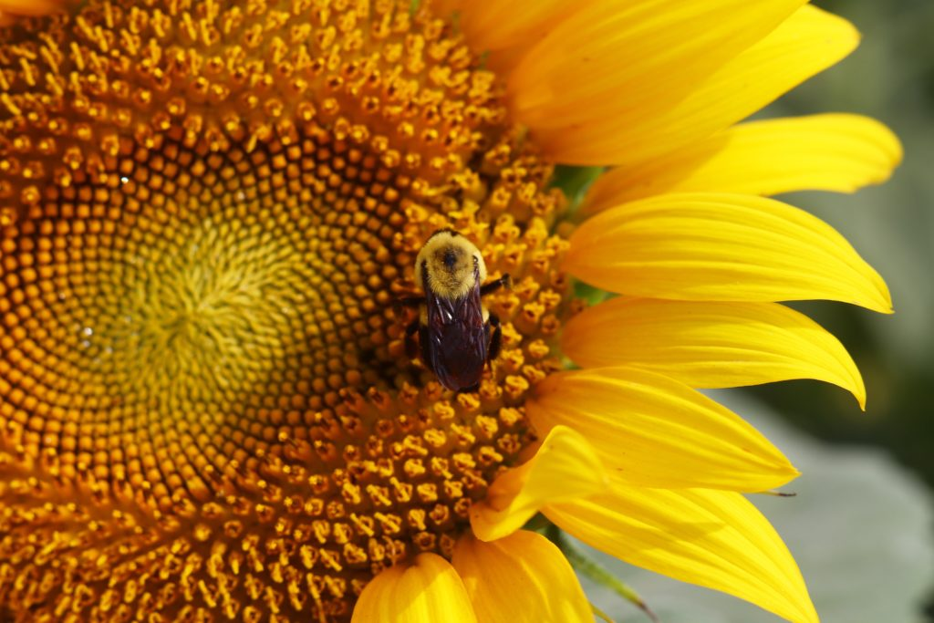 Family Adventure to sunflower fields, bee on sunflower