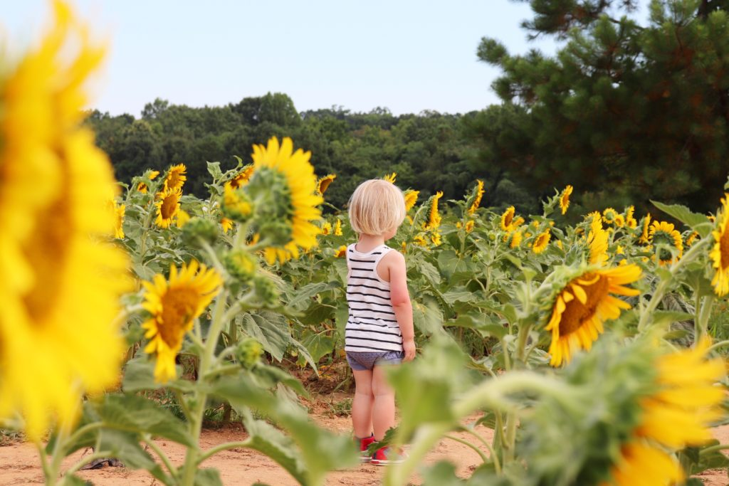Family Adventure to sunflower fields: flowers taller than toddler
